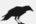 Corbeau de Grisaille en position basse de complot